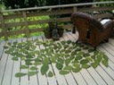 leaves-drying